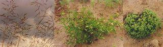 Windhalm/Apera spica venti P.B.- Stiefmütterchen/Viola arvensis Murray - Knäuel/Scleranthus annuus L.