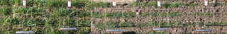 Bodenbedeckung im April 2005 am Beispiel des Winterweizen Capo (Aussaatstärke 250 keimfähige Körner pro m²)