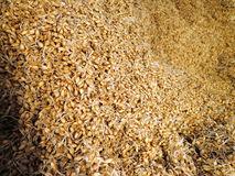 Barley grains in malt production