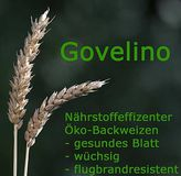 Winterweizen Govelino