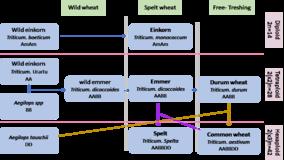Overview of Relationship between Cereal Species